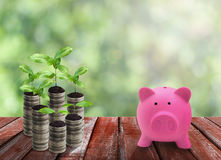 Pink piggy bank and coin growth on wood table top Royalty Free Stock Images
