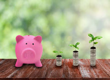 Pink piggy bank and coin growth on wood table top at green natur Stock Images