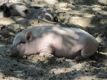 Pink piggy resting in the shade. The pink small pig lies in the sand in the shade and behind it lies another small pig with black spots. Rest after a good lunch royalty free stock image