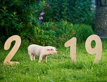 Pig posing near wooden numerals of 2019 in garden among grass. stock photos