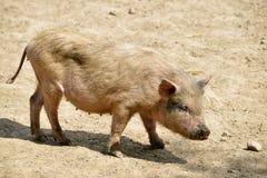 Pink piglet Stock Image