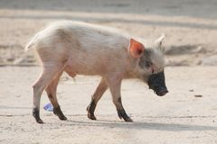 Pink piglet with muddy feet and snout Stock Image