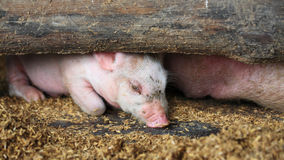 Pink piglet resting Stock Image