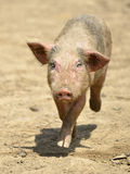 Pink piglet running front Stock Photos