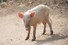 Pink piglet Stock Photo