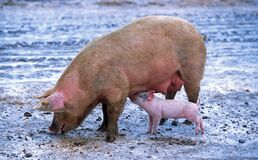 Pink Piglet Sucking on Breast of Brown Pig Royalty Free Stock Photos