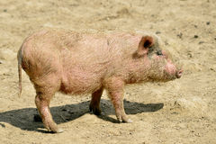 Pink piglet Stock Images