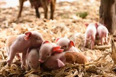 Free Pink Piglets, Newly Born On The Farm Royalty Free Stock Photos - 186444828