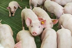 Pink pigs, Pigs on the farm. Young piglets go eat royalty free stock image