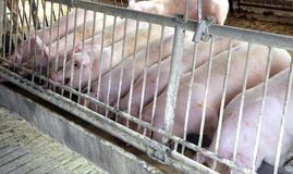 Pink pigs in the sty of the farm animal breeder Stock Images