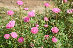Pink Pigweed, Common Purslane, portulaca flowers, Verdolaga Stock Images