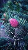 Pink pine cone Royalty Free Stock Images