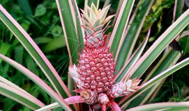Pink pineapple in Bogor. Pink pineapple tree at Bogor Botanical Gardens in Indonesia Royalty Free Stock Photography