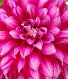 Pink royalty free stock images