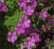 Pink-On-Pink Petunia, Petunia Royalty Free Stock Image