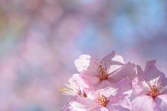 Pink on pink sakura flowers Royalty Free Stock Photo