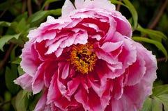 Pink pionblomman Royaltyfria Bilder