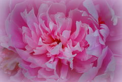 Pink pions. In the summer Royalty Free Stock Images