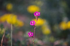 Pink Pirouette. Also known as Red Campion (Silene colorata Royalty Free Stock Photography