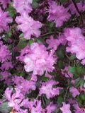 Pink PJM Rhododendron Flowering bush stock image