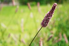 Pink plant and green grass Royalty Free Stock Images