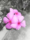 Pink, plant, tropical, flowers, madagascar periwinkle, catharanthus roseus 5 petal flower royalty free stock photo