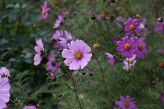 PInk plants nature garden cosmos flower cosmea.  royalty free stock photo