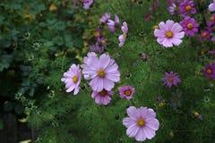 Pink plants nature garden cosmos flower cosmea.  stock photography