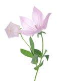 Pink Platycodon grandiflorus Stock Images
