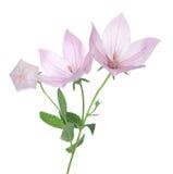 Pink Platycodon grandiflorus Stock Photos