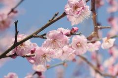 Pink plum blossom Stock Photos