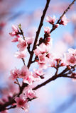 Pink plum blossom. Against blue sky Stock Photography