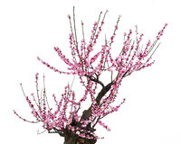 Pink plum blossom. The miniascape of red plum blossom Stock Photo