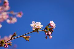 Pink plum blossom.Branches of blossom Plums against blue sky.Background with pink spring blossoms. Cherry tree twigs with blooming. Pink plum blossom .Background stock images