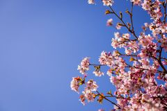 Pink plum blossom.Branches of blossom Plums against blue sky.Background with pink spring blossoms. Cherry tree twigs with blooming. Pink plum blossom .Background royalty free stock photo