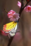 The pink Plum blossom with butterfly Stock Photography