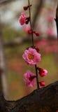 Pink plum blossom Stock Image