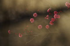 Pink plum blossom flower Royalty Free Stock Images