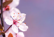Pink plum blossom Stock Images