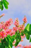 Pink Plum blossom in Malaysia summer. Pink plum flowers blossoming during the summer heat in Malaysia park Royalty Free Stock Photo