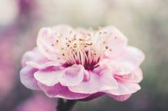 Pink Plum Blossom Stock Photography