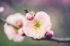 Pink Plum Blossom Royalty Free Stock Photo