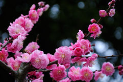 Pink plum blossom Royalty Free Stock Images