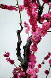 Pink plum blossom Royalty Free Stock Photography