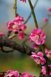 Pink plum blossom Royalty Free Stock Image
