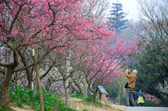 Pink plum blossom and old men Stock Images