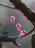 Pink, the plum blossom Royalty Free Stock Image