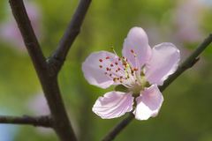 Pink plum blossoms Royalty Free Stock Photography