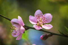 Pink plum blossoms Stock Image