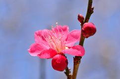 Pink plum blossoms. Stock Photos